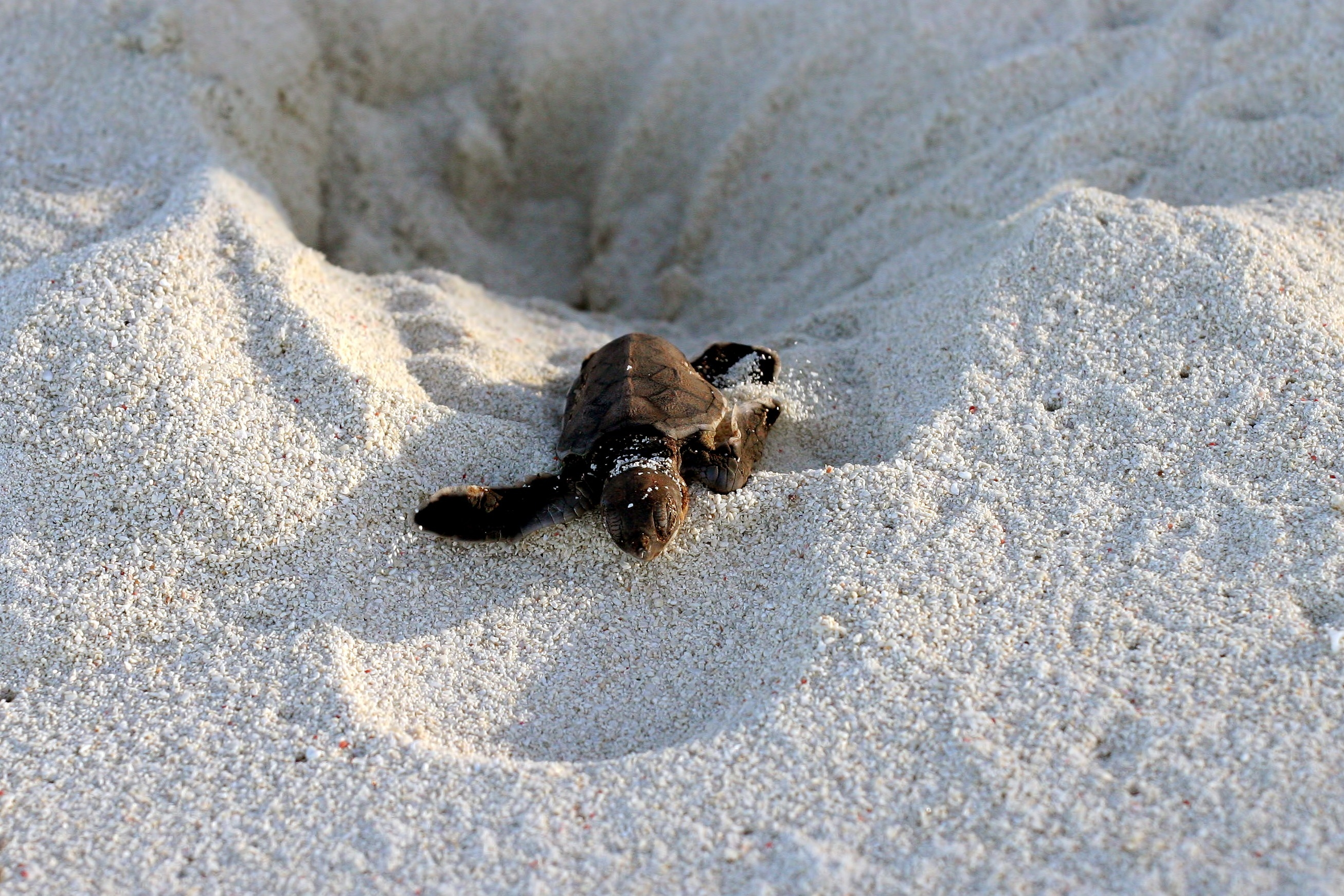 Turtle escaping nest